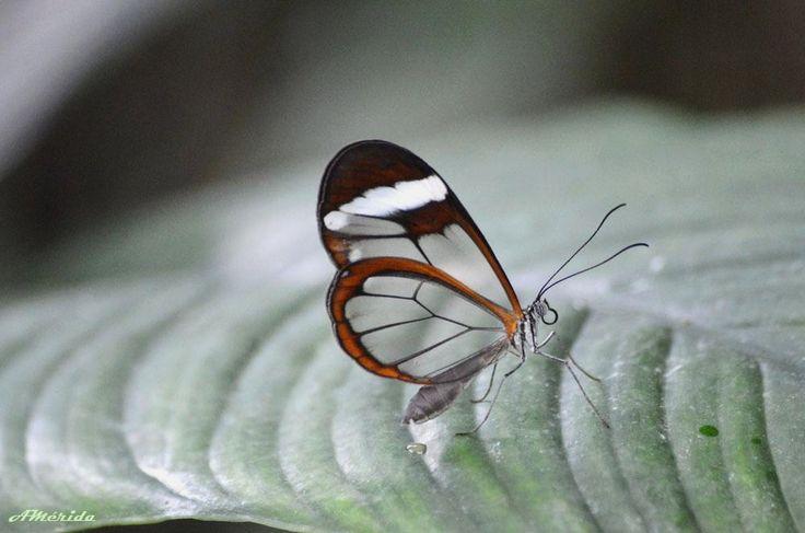 Mariposa de cristal (Greta oto)