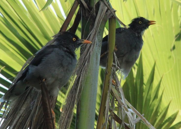 Local birds on Vomo island