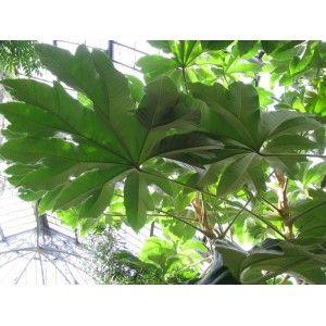 1000 id es sur le th me arbre persistant sur pinterest plante persistant haie persistant et. Black Bedroom Furniture Sets. Home Design Ideas