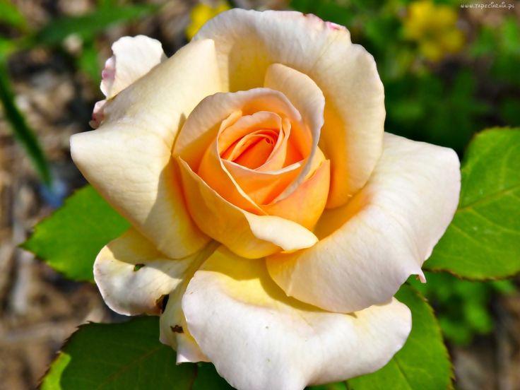 Róża, Kwiat
