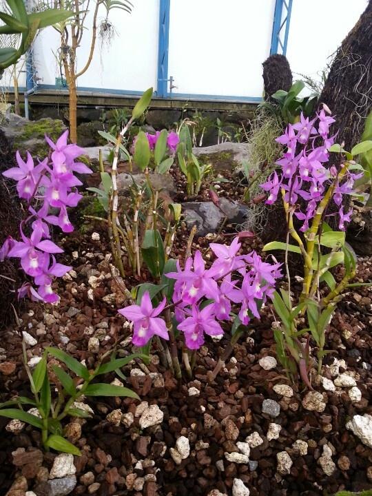 Orquídeas de lila