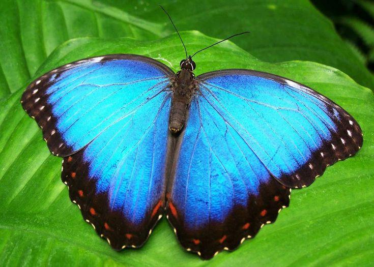 Blauer Morpho Schmetterling   – butterflies