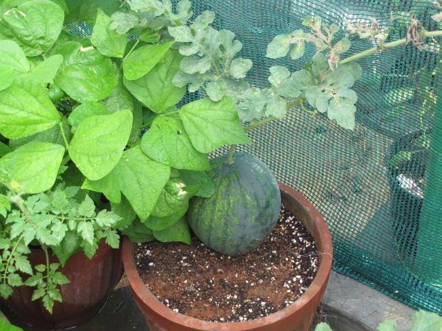 Vous n'avez pas besoin d'un jardin ou même d'un jardin complet pour faire pousser des fruits frais. Vous pouvez cultiver des fruits sains à partir de votre maison toute l'année. Dans la plupart des situations,