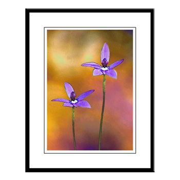 Wax-lip Orchid Large Framed Print