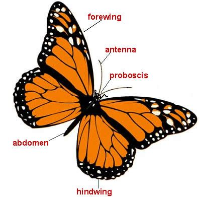 Monarch butterfly anatomy