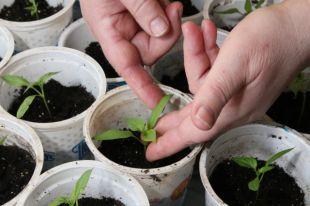 Для того, чтобы заставить семена проснуться можно замочить их в специальном растворе.