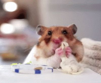 Best Hamsters Images On Pinterest Syrian Hamster Hamsters - Hamster bartenders cutest thing youve ever seen