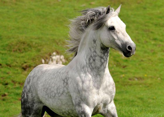 Connemara pony Connemara Pony Foto Susanne Lehmann