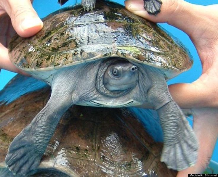 Scientific Name: Batagur baska   Common Name: Common Batagur/ Four-toed terrapin   Category: Turtle   Population: Unknown (declining)   Threats To Survival: Illegal export and trade from Indonesia to China