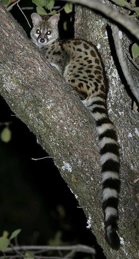 South African large-spotted genet