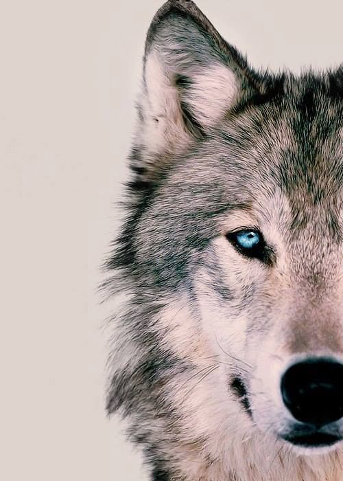 wolf - Google Search