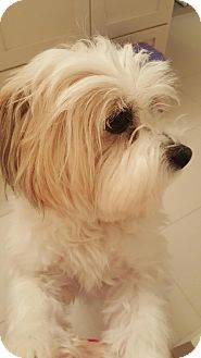 Surrey, BC - Havanese/Shih Tzu Mix. Meet Whiskey, a dog for adoption. http://www.adoptapet.com/pet/17567025-surrey-british-columbia-havanese-mix