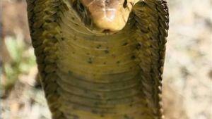 African Bush Cobra