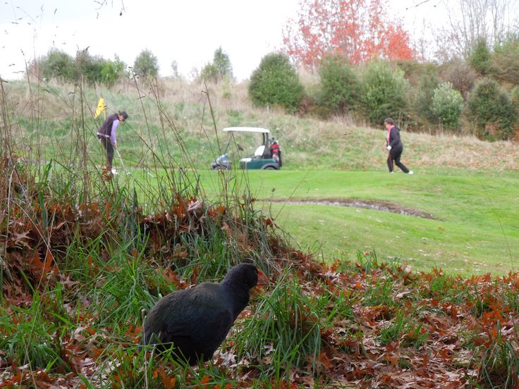 Grant the takahe, watching some players on the 5th hole, Wairakei Golf + Sanctuary