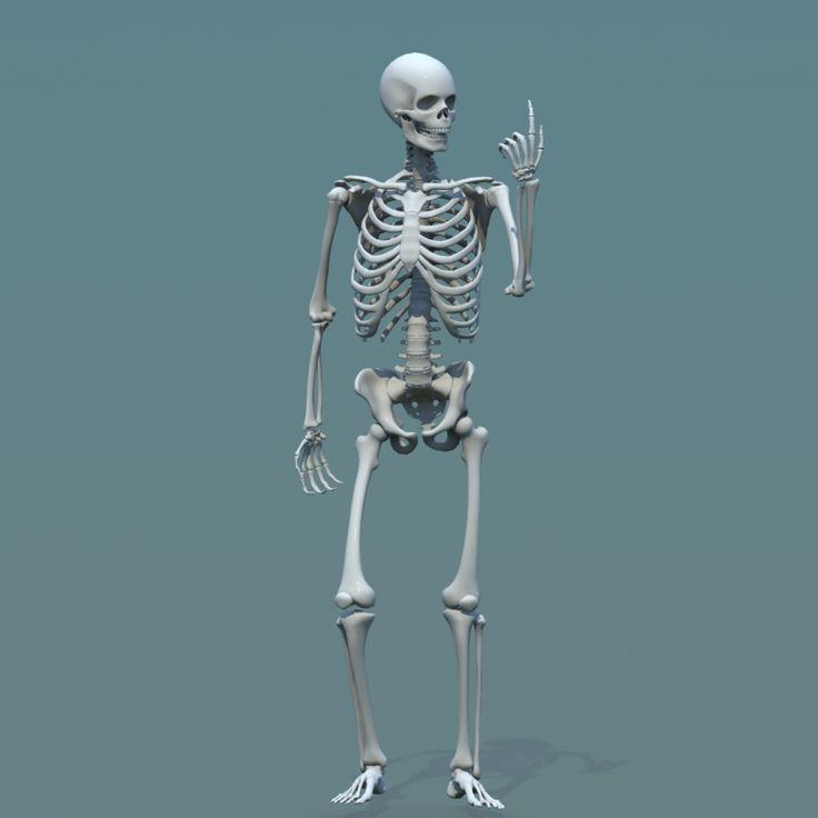 top 25+ best human skeleton model ideas on pinterest | skeletal, Skeleton
