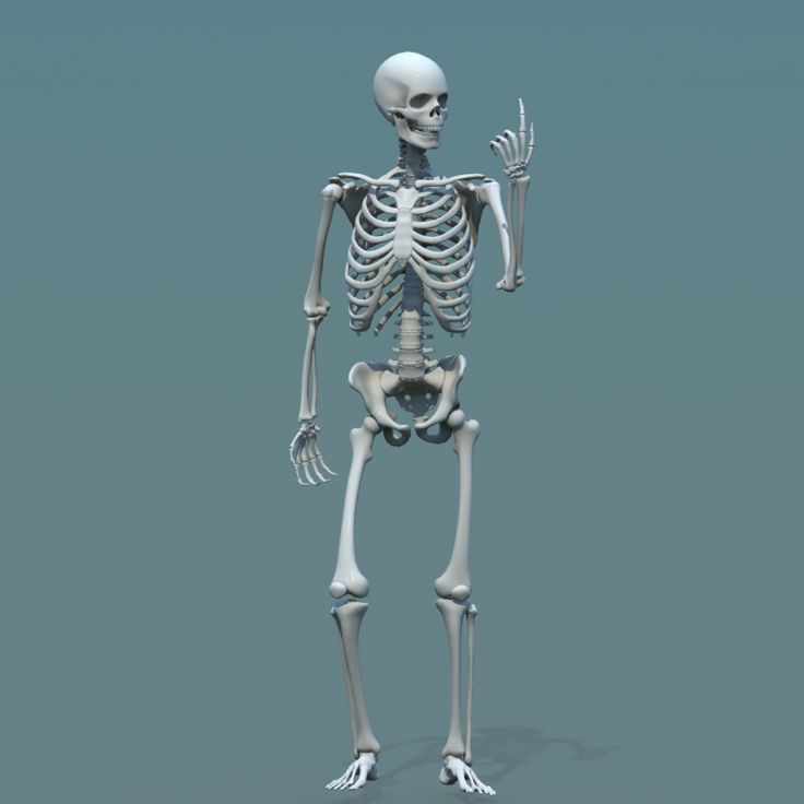 The 3d model available here: https://www.cgtrader.com/3d-models/character-people/anatomy/3d-model-human-skeleton-combine-with-biped 3d model, human, skeleton, combine, biped, anatomy, character, rigged, animated, low poly, download, CG