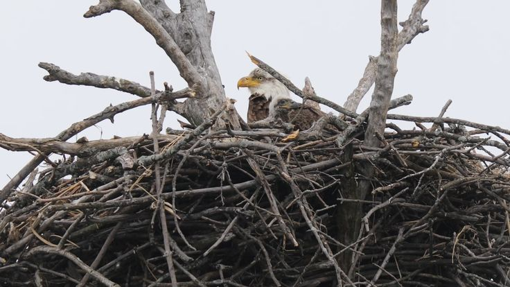 An update to our March story about bald eagles returning to Cook County.