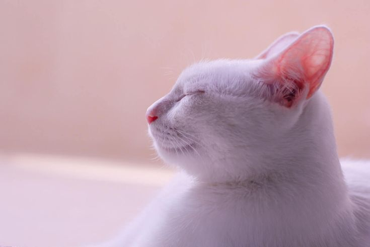 Are Cat Ear Mites Contagious Cat Ear Mites Cats Cat Ears