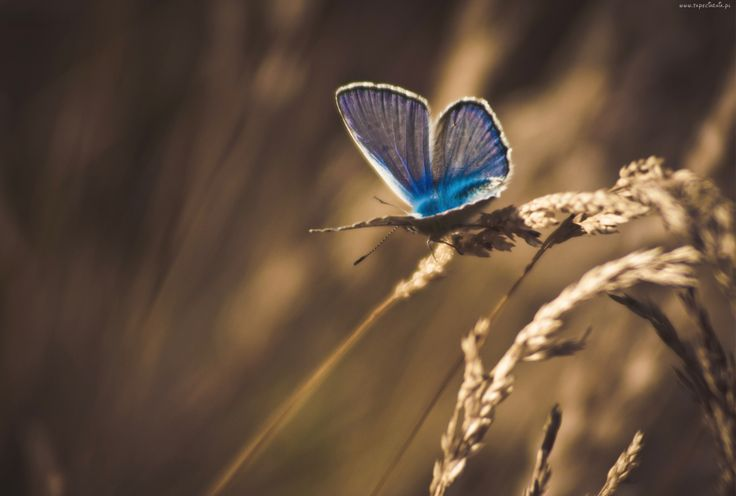 Źdźbła, Trawy, Niebieski, Motyl, Modraszek