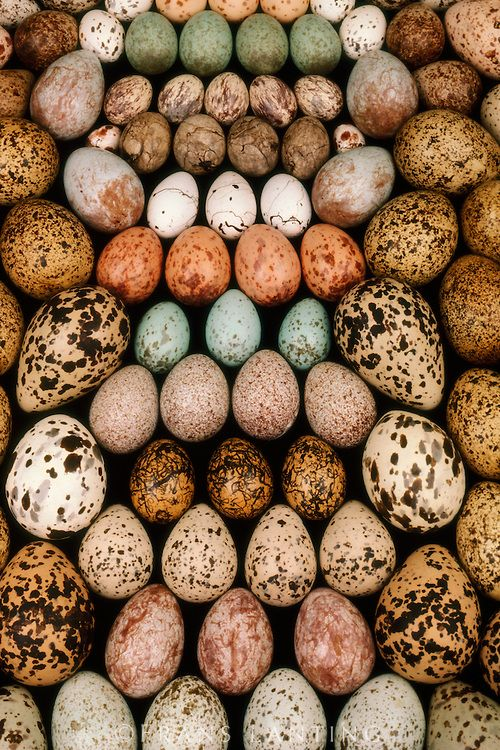 Another bird egg collection, Western Foundation of Vertebrate Zoology, Los Angeles, California. Photo by Frans Lanting.