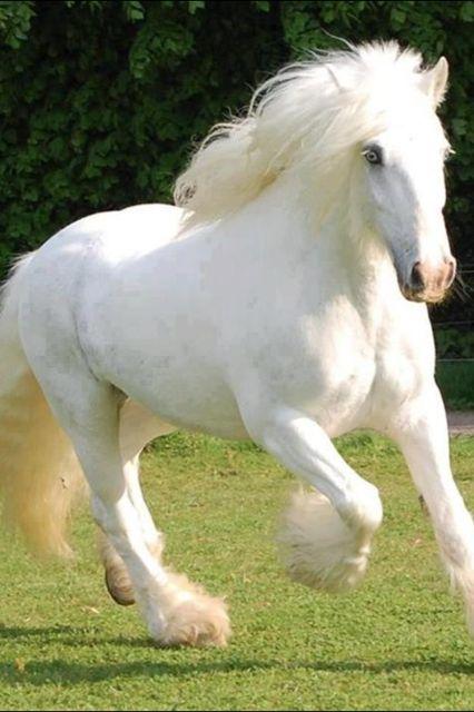 Rare Albino Horses Shire draft horse. Swo...
