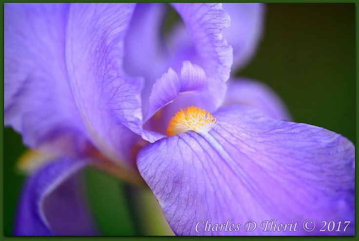 ctofcsco posted a photo:  Princess Beatrice Iris  Colorado Springs, CO  Hopefully correct in my identification, these are the most common of the Iris in our flower beds ...  wiki.irises.org/bin/view/TbPthruT/TbPrincessBeatrice