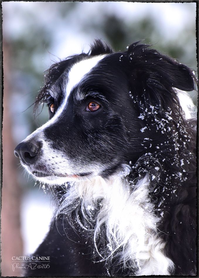 Border Collie ~ Mason