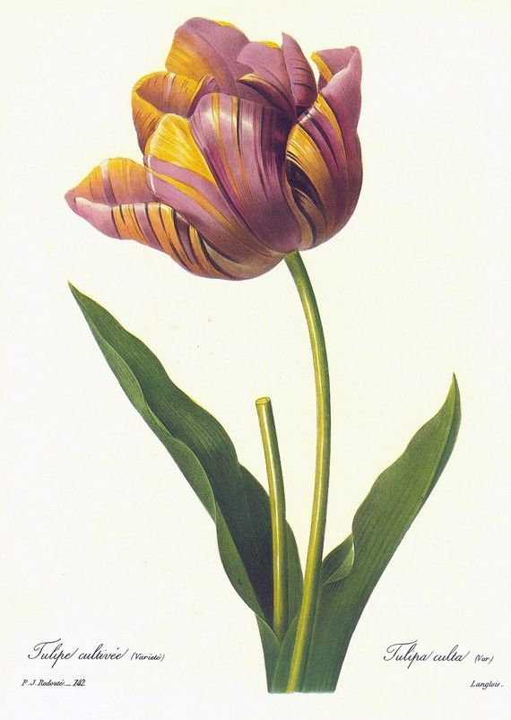 Vintage Botanical Print by Redoute of Tulip