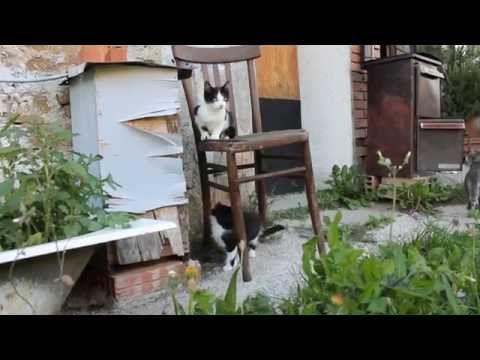 gattini che giocano. kittens playing (2) - http://dailyfunnypets.com/videos/cats/gattini-che-giocano-kittens-playing-2/ - l'ossessione per la sedia di legno! :) - (animal), animali, appennini, carino, cat, cats, cute, funny, gatti, gattini, gattino, gioco, kitten, kittens, kitty, meow, miao, natura, playing