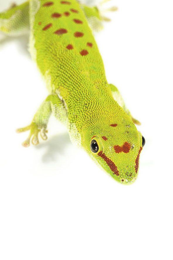 #Madagascar - Project #Voiala - Day Gecko Phelsuma mad.grandis http://www.favini.com/en/enviroment/voiala/project-voiala/ - Share it on Twitter https://twitter.com/favini_en/status/549855164044423168