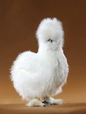 CHICKEN!  I want this kind of a chicken.: Farm, Fancy Chicken, Animals, Silky Chicken, Pet, Silkie Chickens, Birds, Fluffy Chicken
