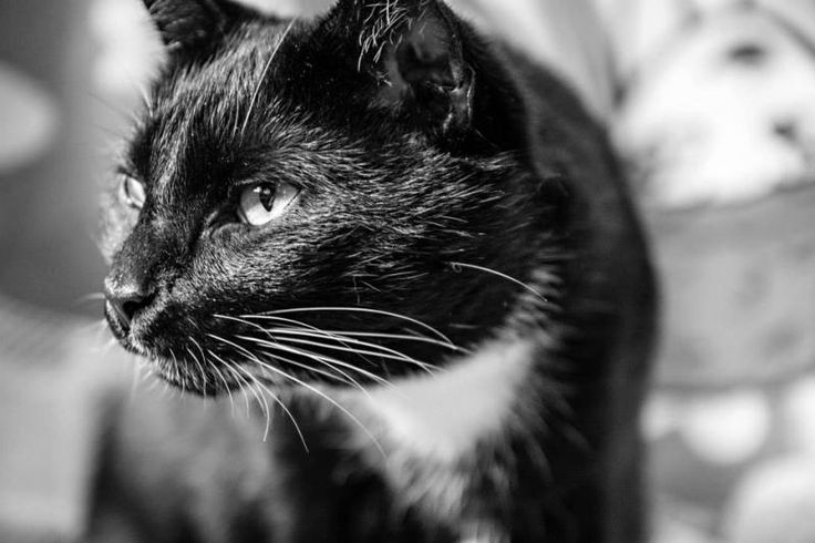 Meet Sage (bonded with Maestro), a Petfinder adoptable Domestic Short Hair-black and white Cat | Mission, BC | Sage is an 8 year old, healthy, loving, sweet cat. Sage and her brother Maestro were abandoned by...
