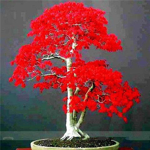 Red Maple Bonsai Tree Seeds(100 Seeds)