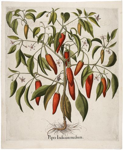 BESLER, Basilius. Piper Indicum Medium. Original copper engraving with later hand colour. 3rd Jubilee edition, plate:325, 1713. #flora #botanical #print #RHSChelseaflowershow