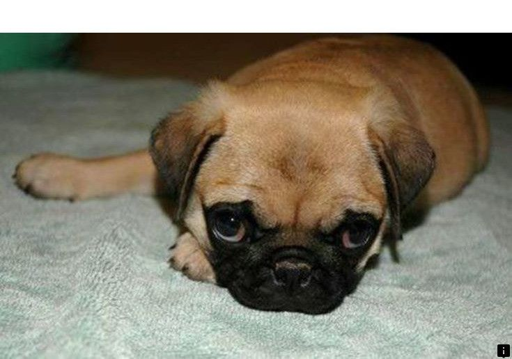 Find Out About Pugs For Adoption Near Me Click The Link To Read