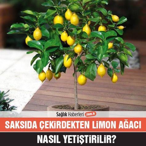 Çekirdekten limon ağacı yetiştirebilirsiniz!
