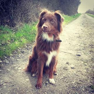 Gran exponente de belleza canina ... pastor ovejero australiano o Aussie.