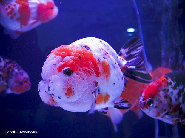 17 best images about goldfish with brains orandas on for Koi fish aquarium