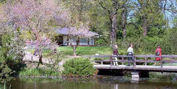 Цветущая сакура в Японском саду