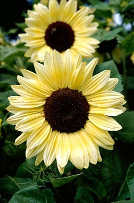 This is a sunflower with a little more style than most. Its soft, creamy white rays become a richer, deeper yellow shade close to the deep black centres and the 6in/15cm flowers are not too large, just right for the size of the plant.