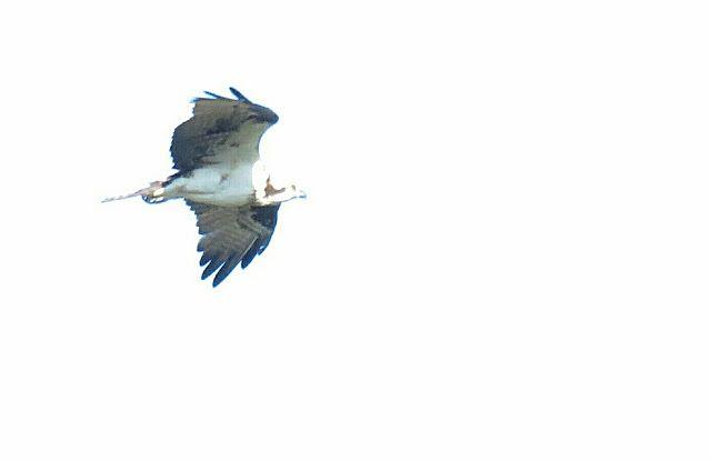 Bird Photos, Birding Sites, Bird Information: OSPREY IN FLIGHT, MERRITT CANAL PUMP STATION, PICA...