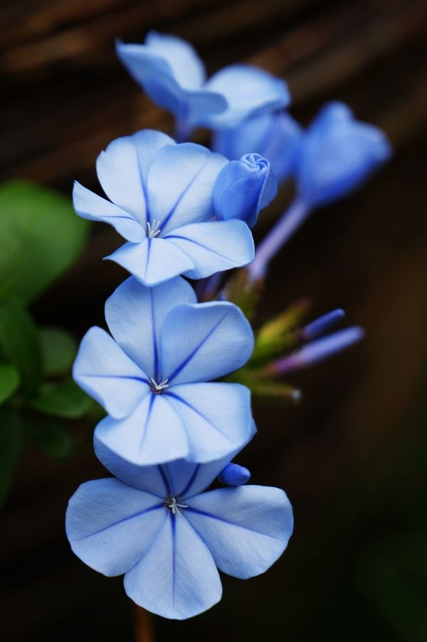 I like Blue plumbago because it is a heavy bloomer, drought tolerant, not a nutrient hog, covers ugly chain link and walls in a snap, takes seriously heavy pruning, attracts all sorts of pollinators, and is BLUE. :) Mix with orange bougainvillea for something spectacularly pretty! <3 ~A.