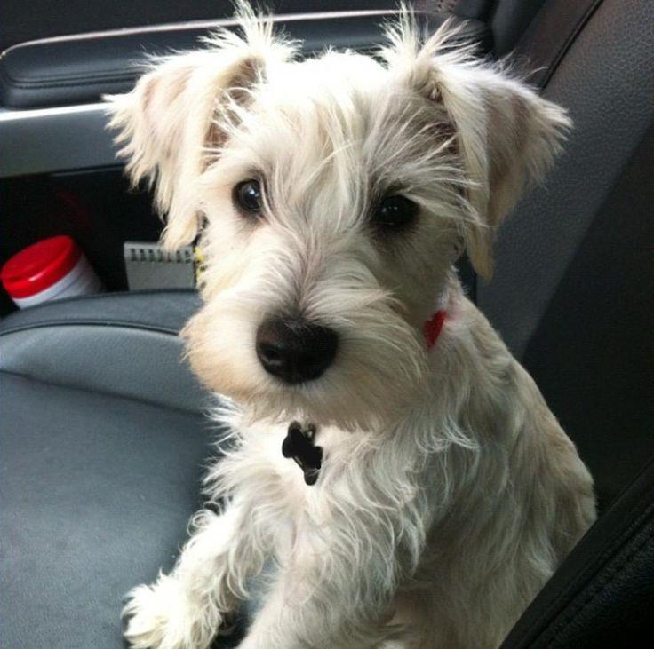 This miniature Schnauzer is ready for a car ride!