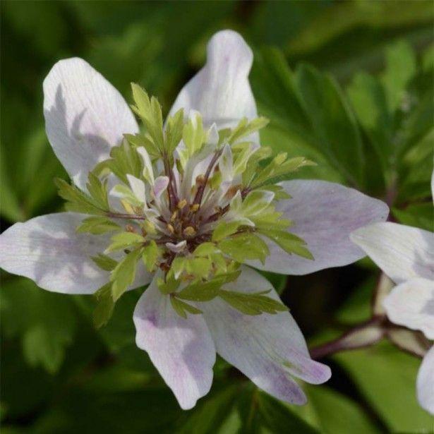 Anemone nemorosa Green Fingers - Anémone des bois