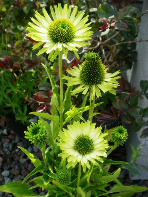 17 best images about perennials on pinterest gardens. Black Bedroom Furniture Sets. Home Design Ideas