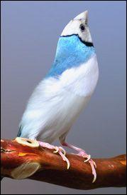 Gouldian Finch Genetics