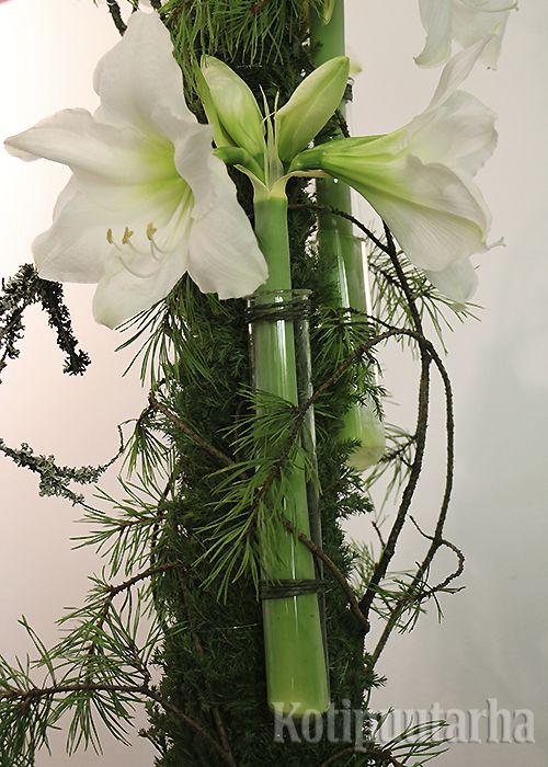 Valkoinen ritarinkukka eli amaryllis lasiputkessa.