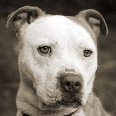 AWW!! #Pitbull #adoption #foster #furever #cats #kittens #dogs #love #sweetness…