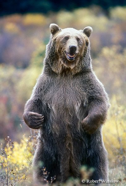 When the food can be found in abundance, the Grizzly bear ...