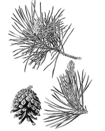 Větvička a šiška borovice